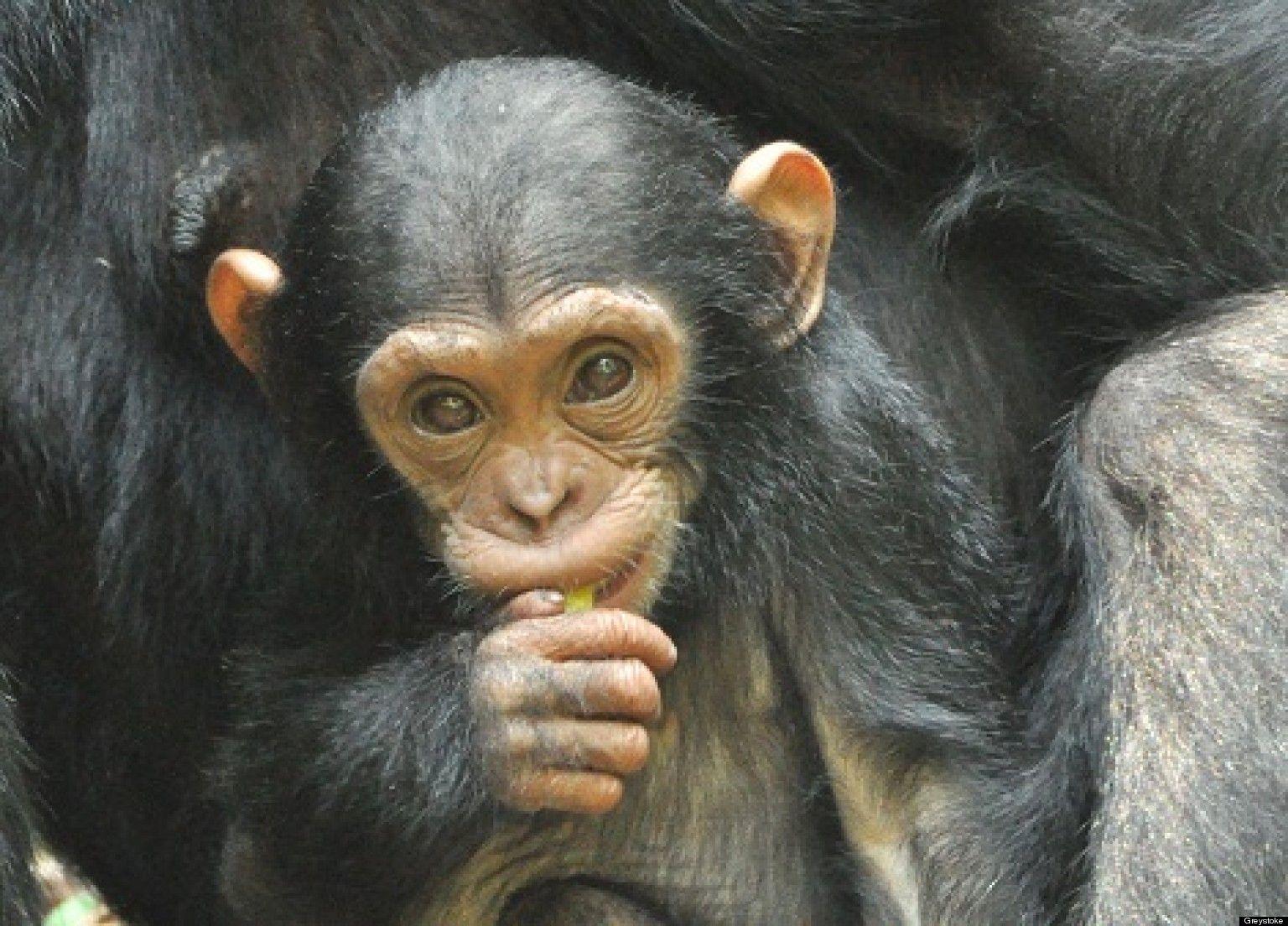 Scary Gorilla   ... Chimpanzee Attack , Scary Gorilla ... - photo#15