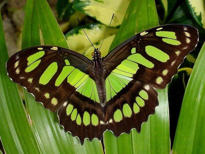 Фотографии тропических бабочек   Schmetterling, Bilder, Falter
