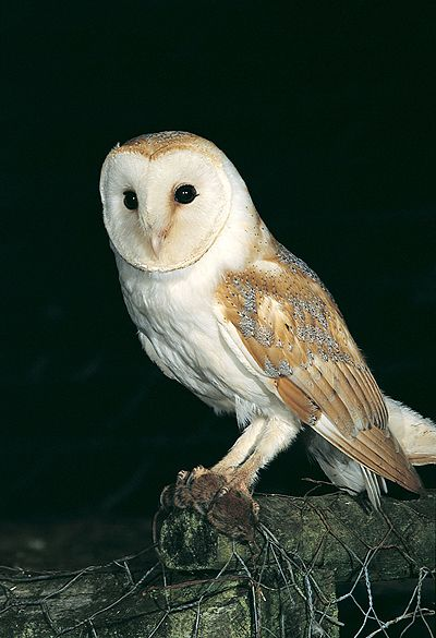 Perched Barn Owl at night; photo by Mike Brown Owl