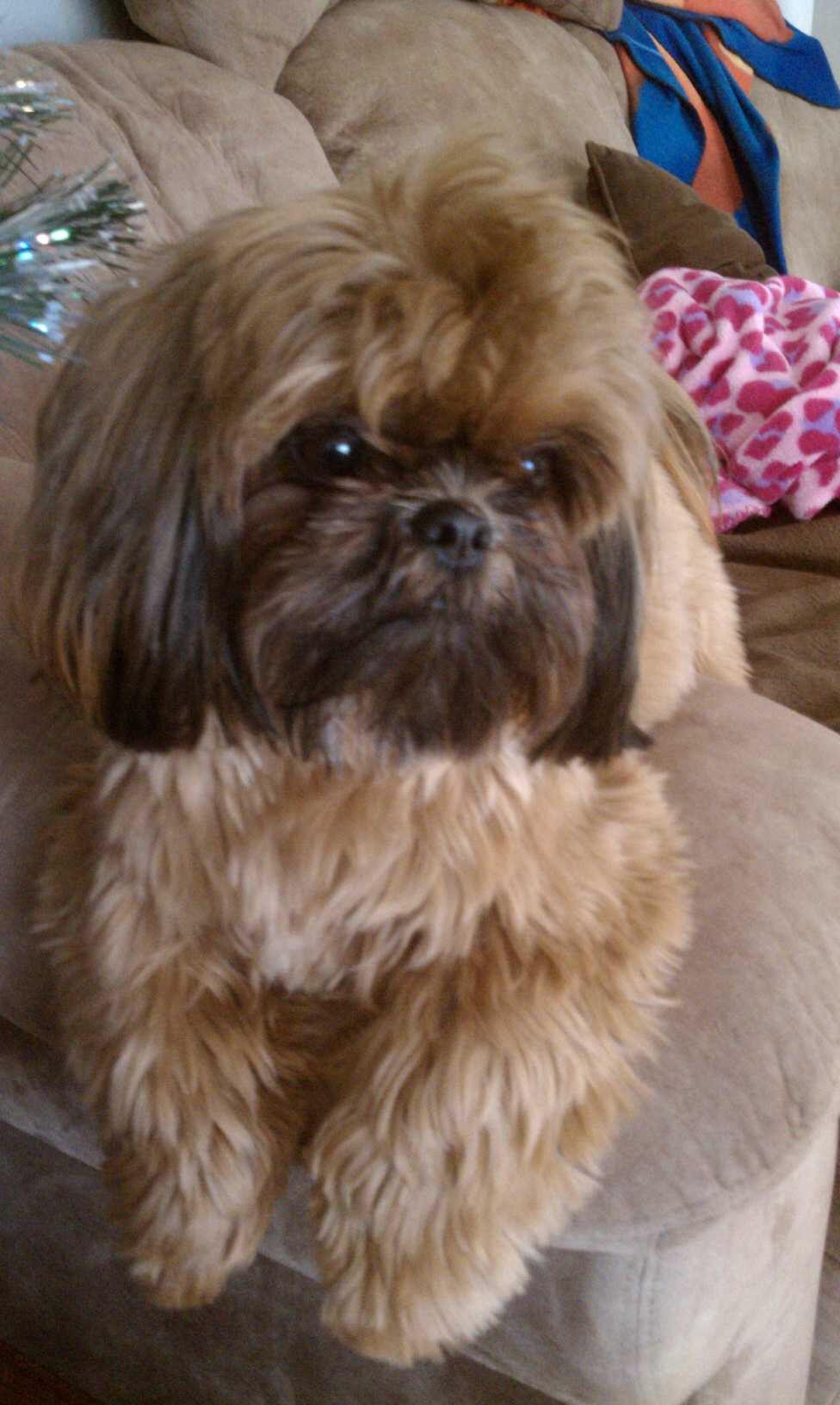 Most Beautiful Shih Tzu Shih Tzu Dog Shih Tzu Shih Tzu Puppy