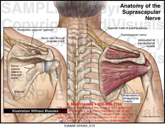 Suprascapular nerve entrapment is an uncommon nerve entrapment ...