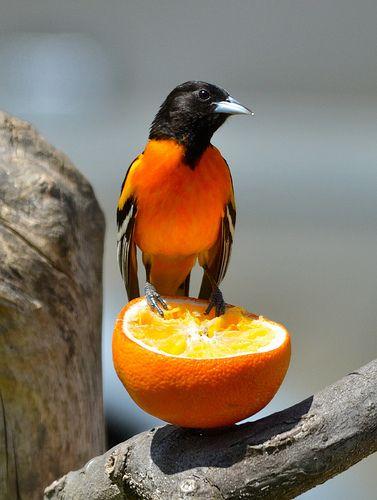 Oriole on an Orange