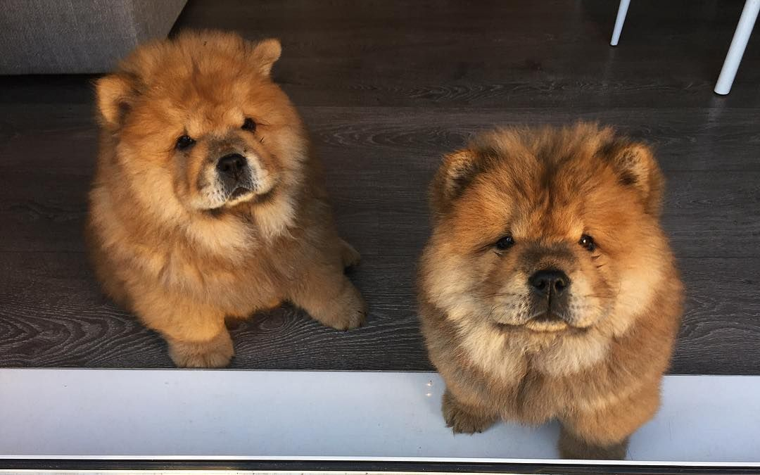 Chow Chow Chowchowdog Chow Chow Puppy Chow Chow Dogs Chow Chow