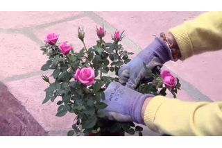 When To Prune Miniature Roses Ehow Planting Roses Rose Plant Care Indoor Roses Plant