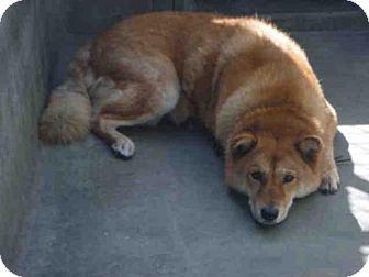 Los Angeles Ca Jindo Meet A1566156 A Dog For Adoption Http Www Adoptapet Com Pet 13342323 Los Angeles Califo With Images Dog Adoption A Dogs Prayer Kitten Adoption