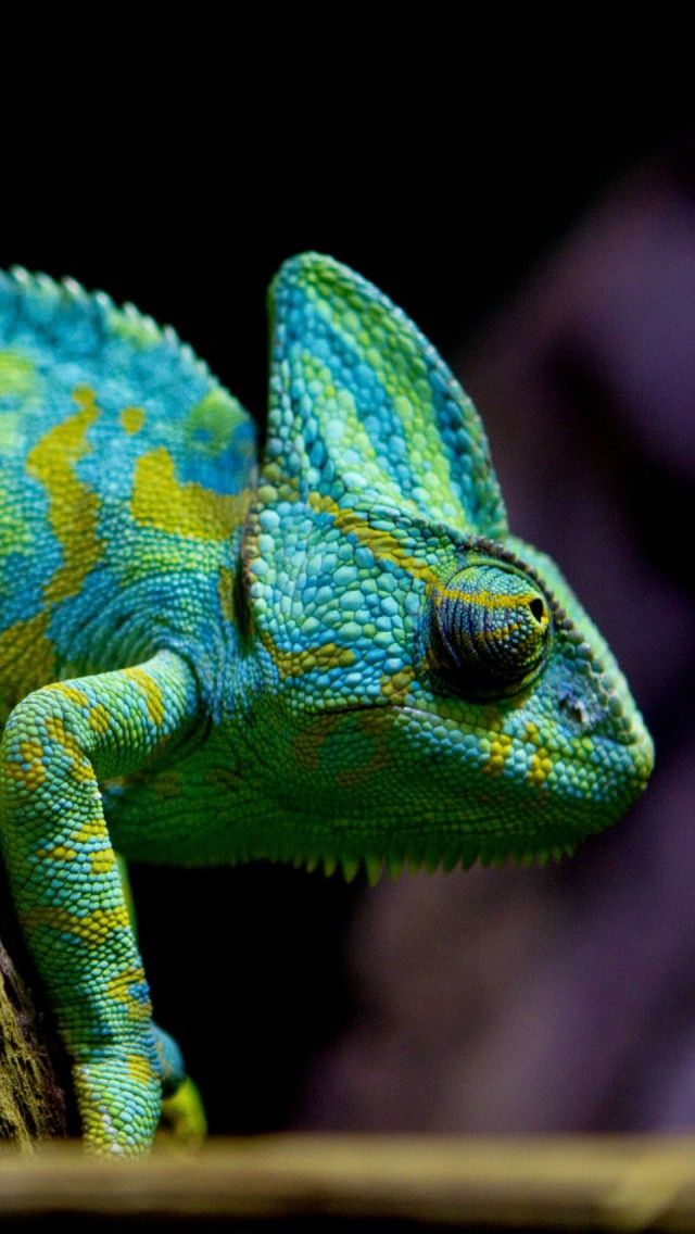 Chameleon Lizard Iphone 5 Wallpapers Backgrounds 640 X