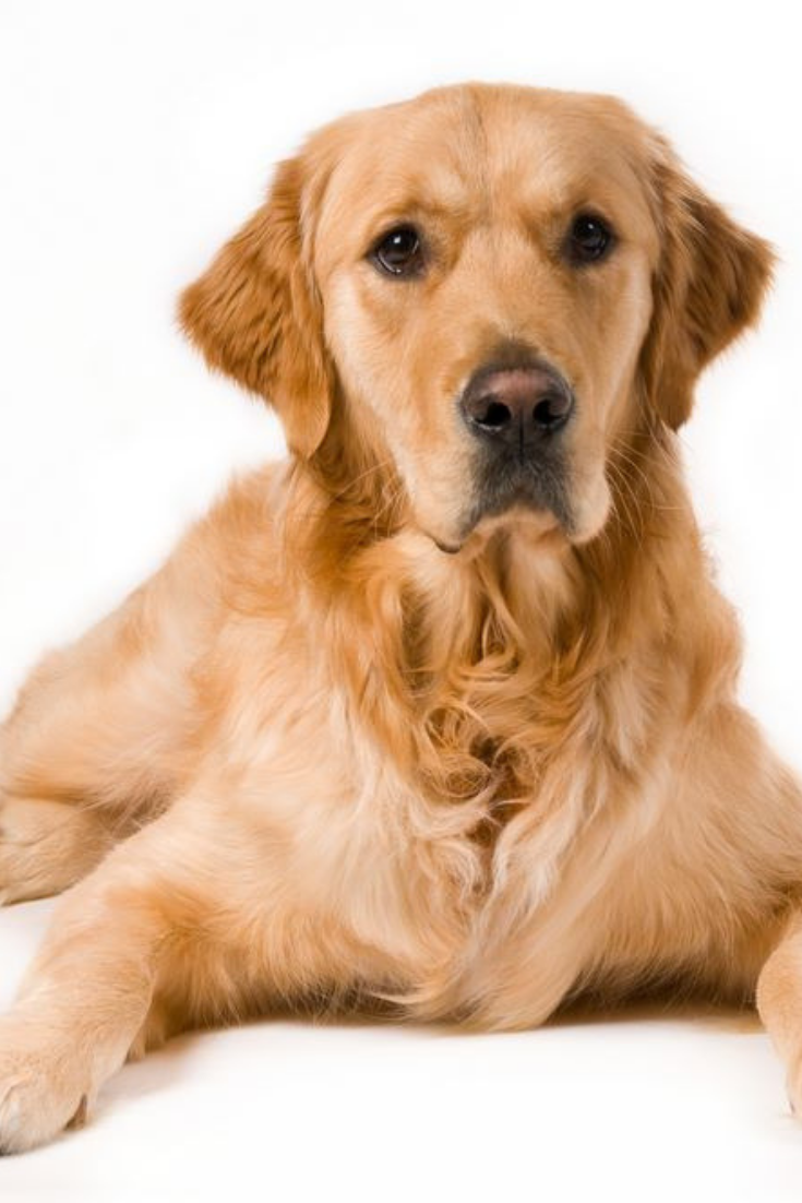 Portrait Of A Golden Retriever With White Background Goldenretriever Golden Retriever Retriever Dogs And Puppies