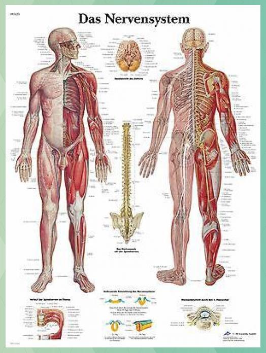 Photo of human nervous system chart anatomy 50 x 67cm poster #67cm #anatomy #chart #human…