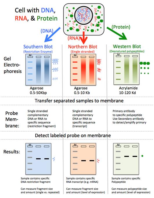 8 6 Dna Analysis Blotting And Hybridization Biology Libretexts Study Biology Teaching Biology Medical Laboratory Science
