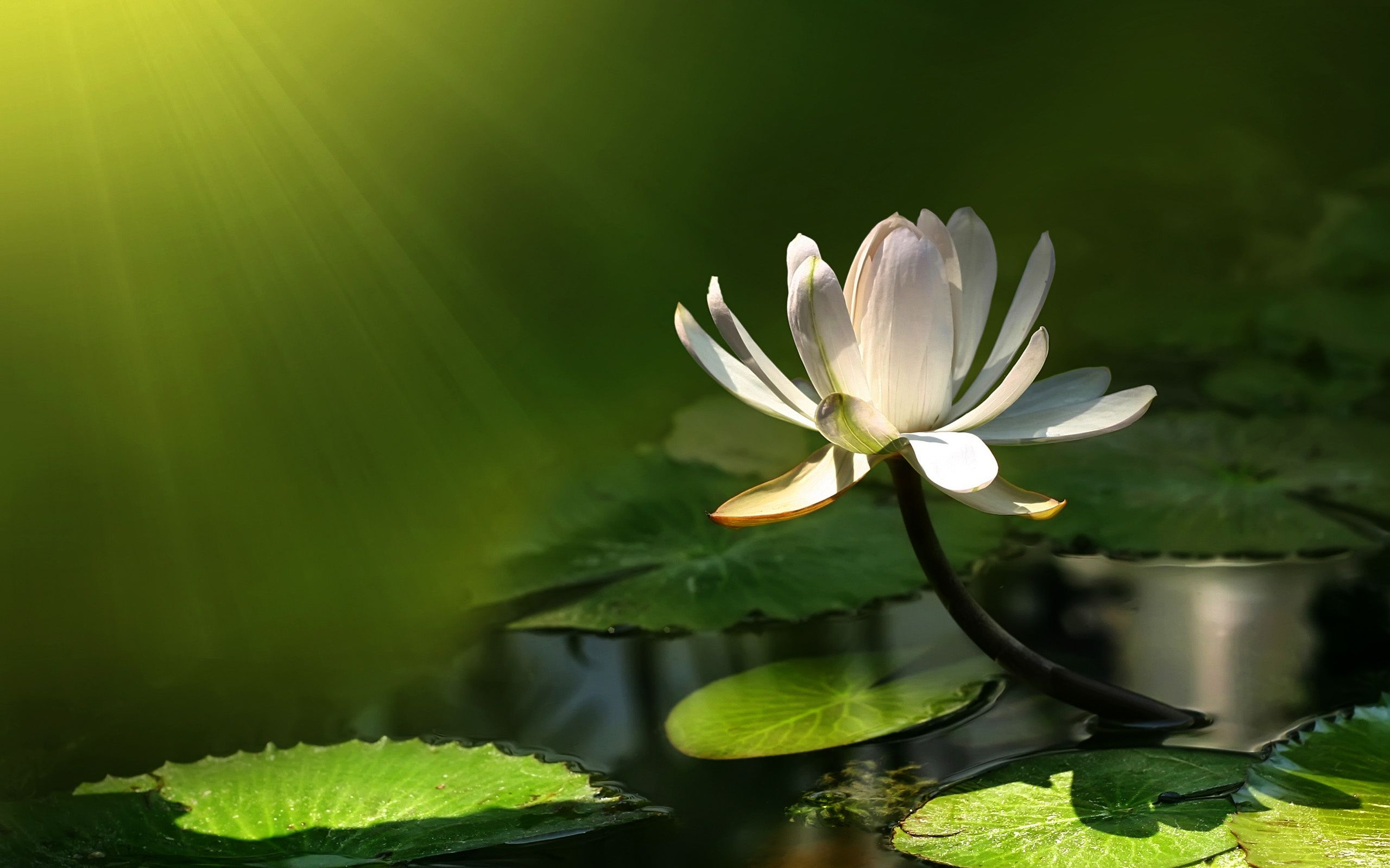 Lotus Flower Lotus Wallpaper Flower Desktop 5 Painting Subjects