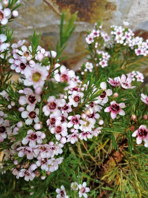 Chamelaucium Uncinatum Desf Flor De Cera Arbustos De Hoja Perenne Flores De Cera árboles En Flor