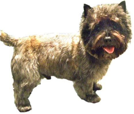 Grooming A Cairn Terrier Eyes Cairn Terrier Grooming Styles
