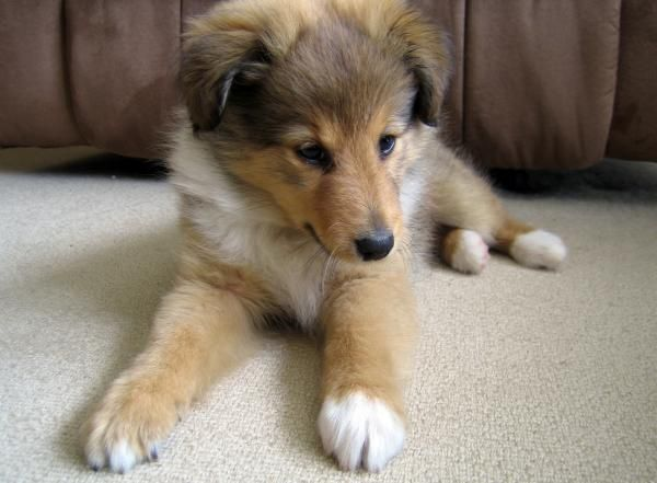 Sweet Puppy By Sheltie Planet Sheltie Shetland Sheepdog Puppies