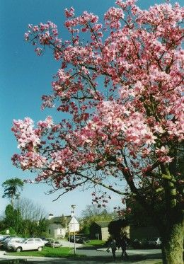 15 Types Of Magnolia Trees And Shrubs With Pictures Magnolia