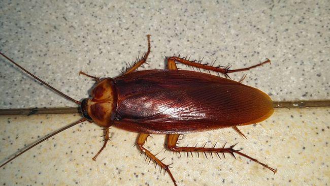 les cafards ou blattes, nuisibles dans les habitations : comment
