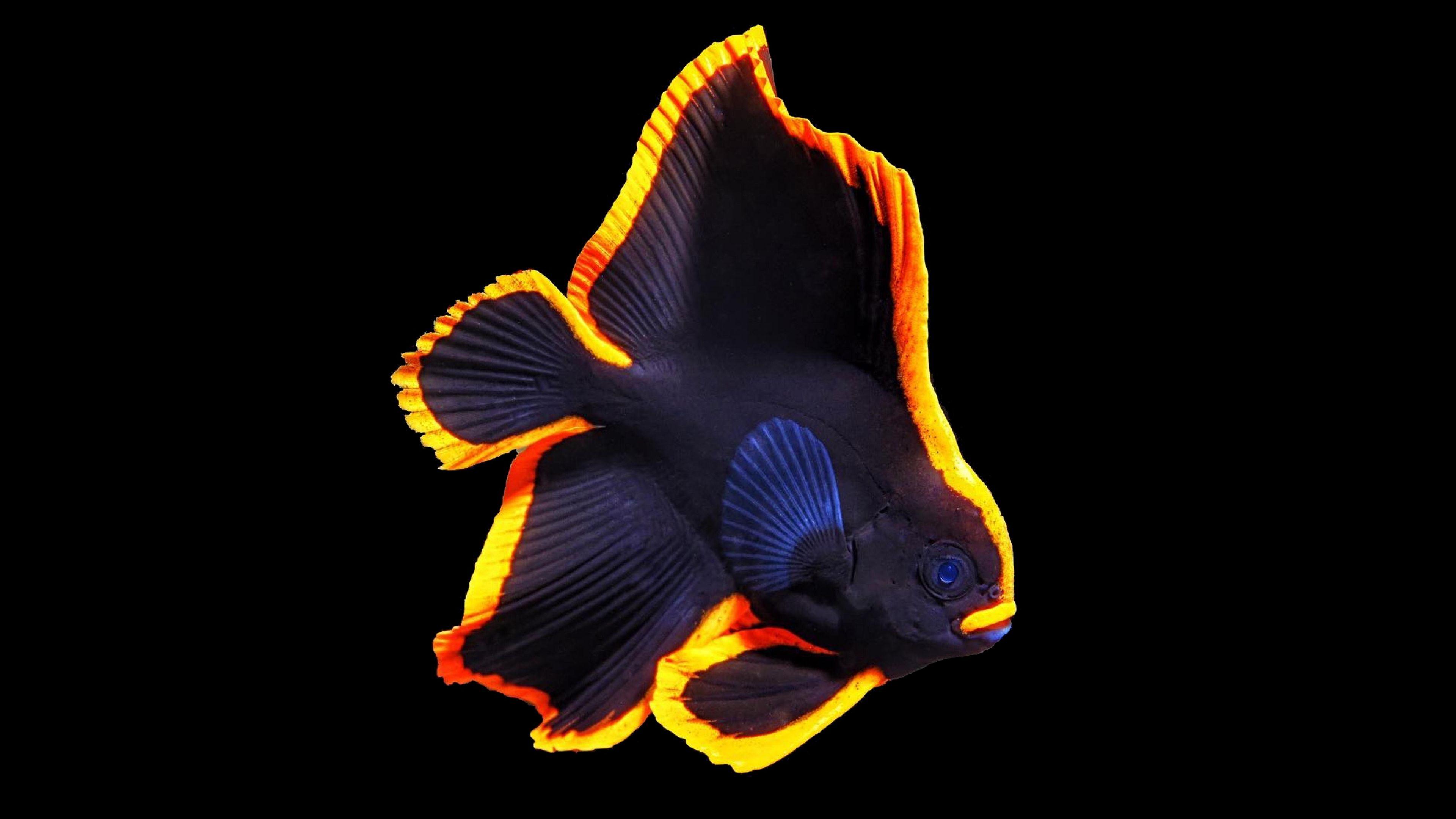 Longfin Batfish 104 Beautiful Sea Creatures Ocean Creatures Salt Water Fish
