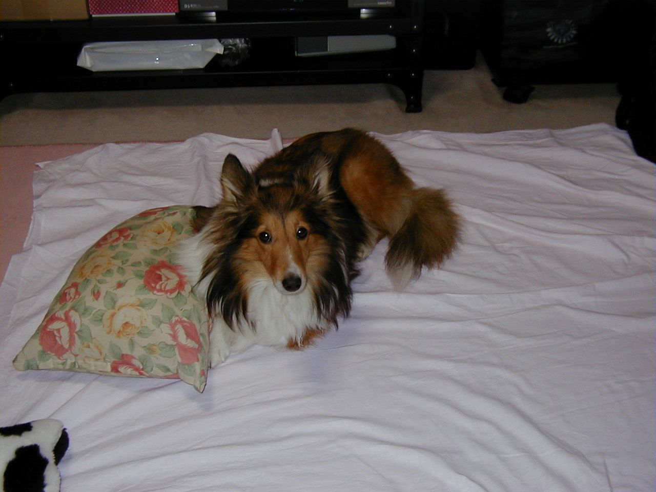 My Daughter Charmy Sheltie Retriever Puppy Cute Animals Sheltie