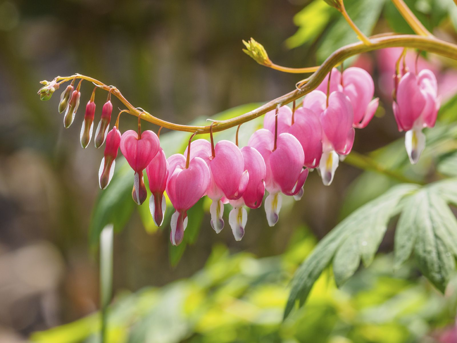 Bleeding Heart Blooms Appear In Early Spring Does Well In Shade Plant Goes Dormant In Summer May Bleeding Heart Flower Bleeding Heart Plant Bleeding Heart