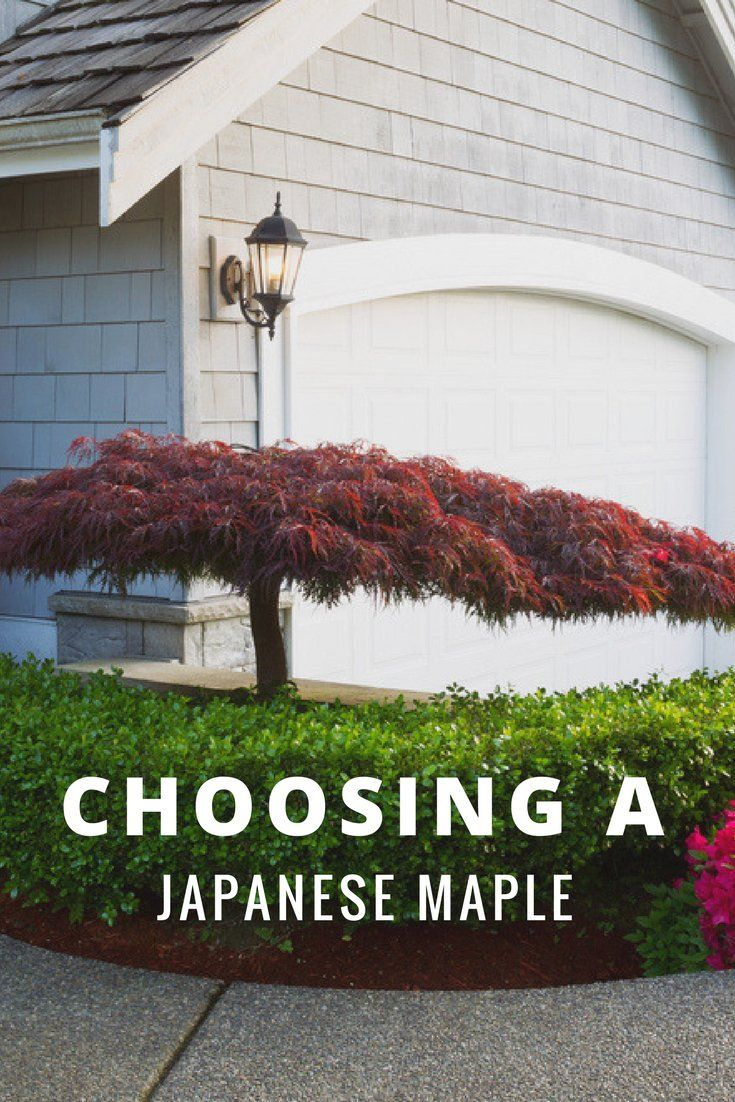 Choosing a Japanese Maple