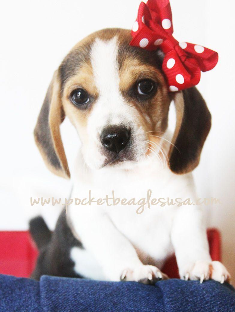 Www Pocketbeagles Small Pocket Size Beagles Tiny Beagles Beagles Cute Puppy Texas Puppy Beagle Dog Beagle Puppy Cute Beagles