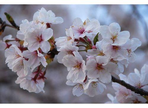 Cherry Blossom Tree Close Up Google Search