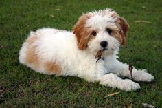 Blenheim Cavapoo Cavoodle Google Search Cute Dog Mixes