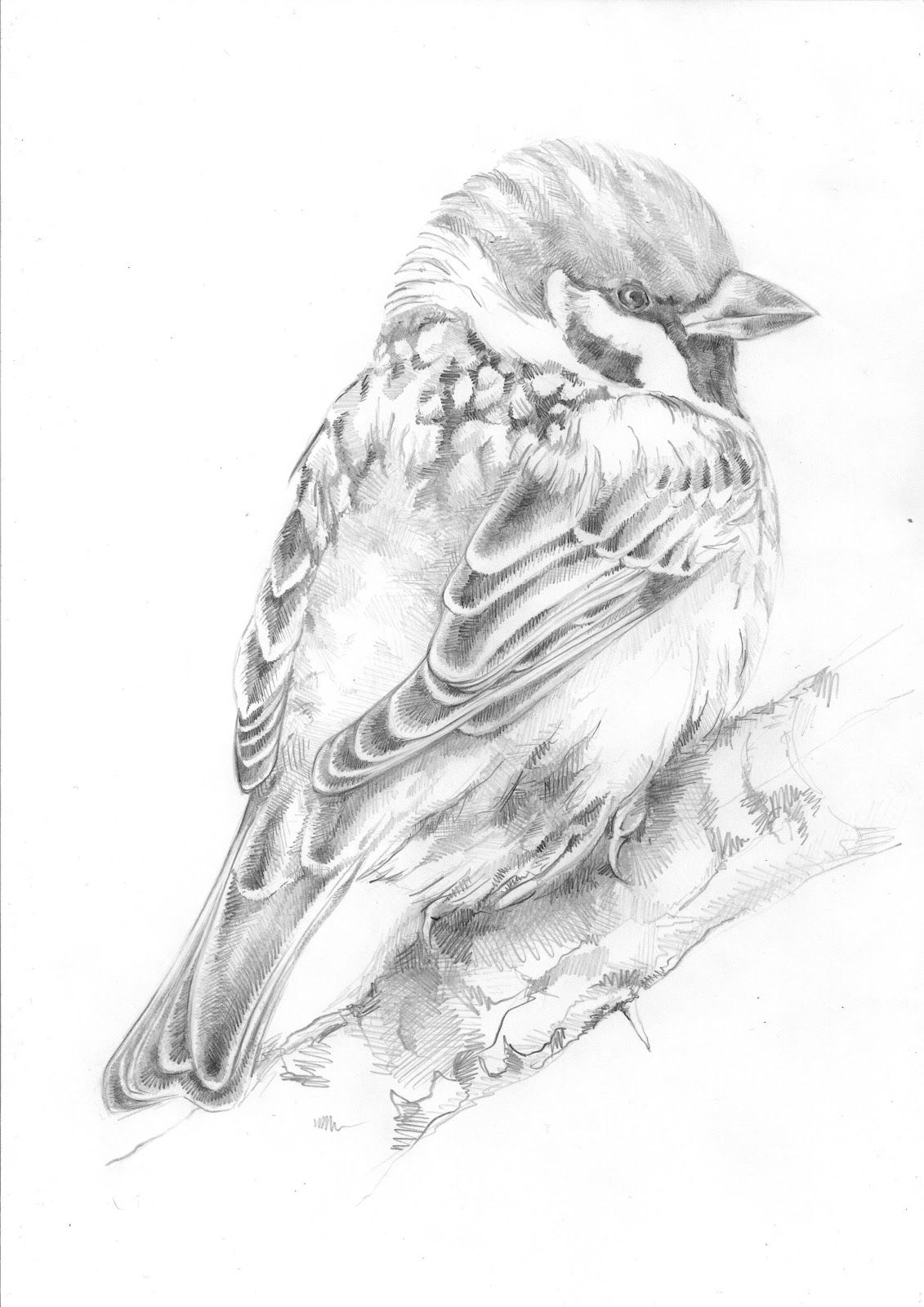 Tree Sparrow Grayscale Coloring Bird Drawings Greyscale Colour