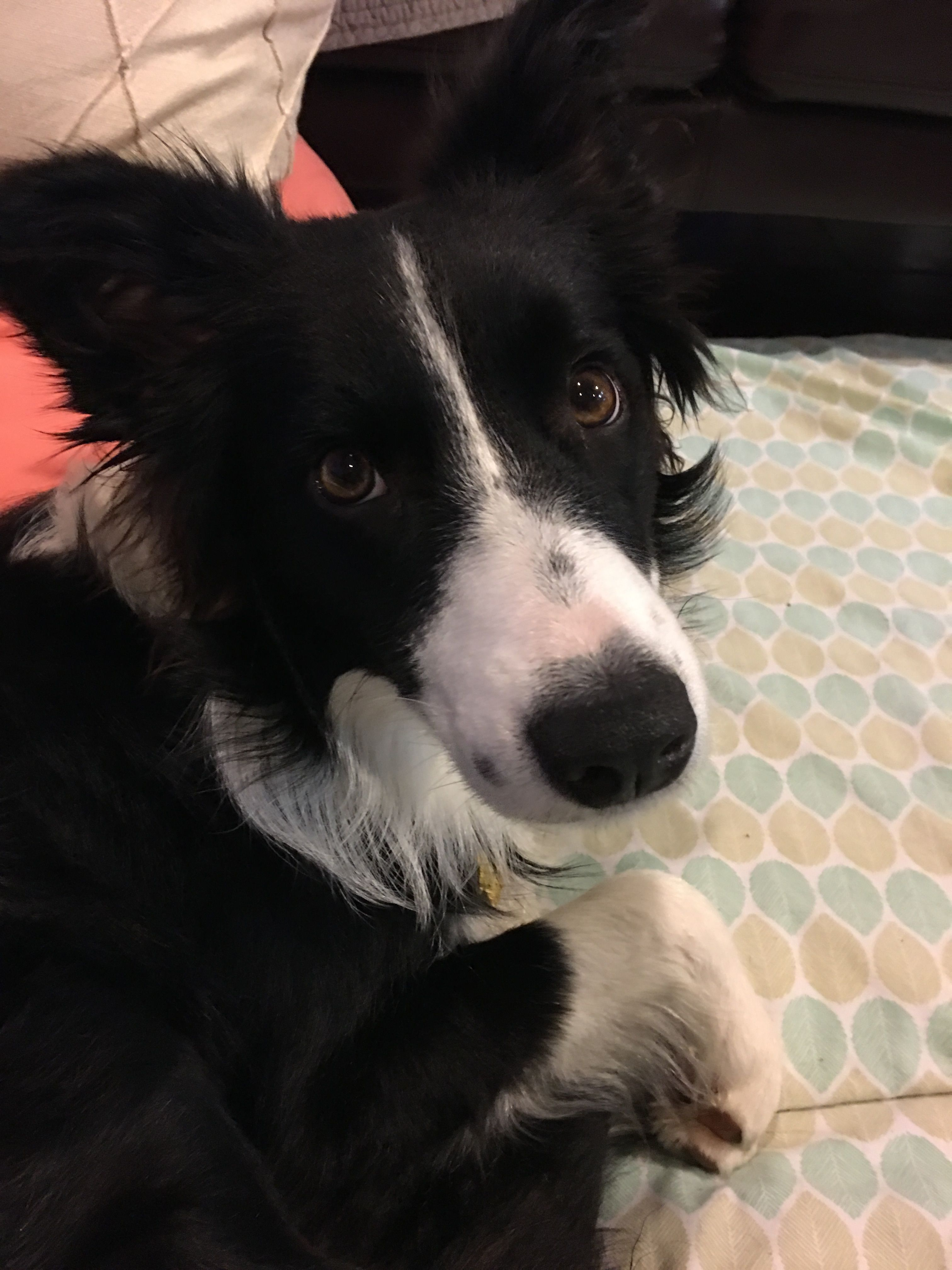 Adopt Daphne On Pets Dogs Border Collie
