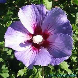 Purple Hibiskus Flower Quotes Hibiscus Flowers