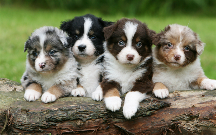 Download Wallpapers Australian Shepherd Small Puppies 4k Cute Animals Quartet Different Colors Aussie Puppies Besthqwallpapers Com Australian Shepherd Aussie Puppies Australian Shepherd Puppies