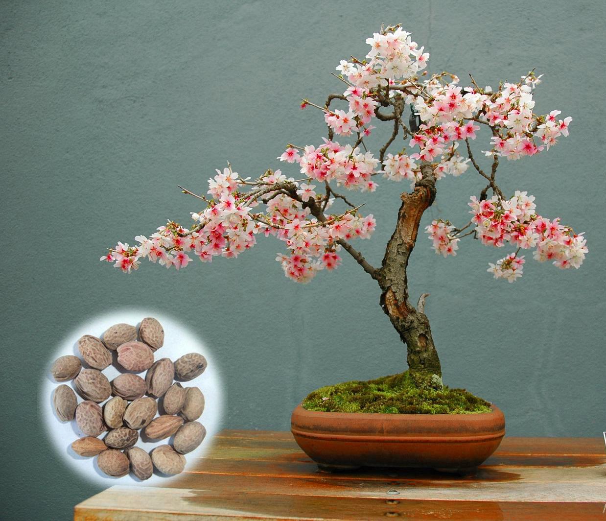 Japanese Flowering Cherry Blossom Sakura Bonsai Seeds Grow Own Bonsai Tree Bonsai Seeds Japanese Flowering Cherry Bonsai Flower