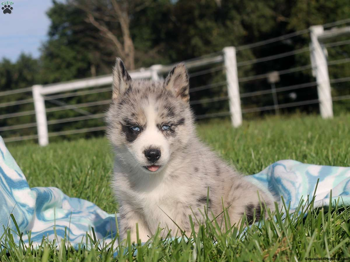Wynonna Pomsky Puppy For Sale In Delaware Pomsky Puppies