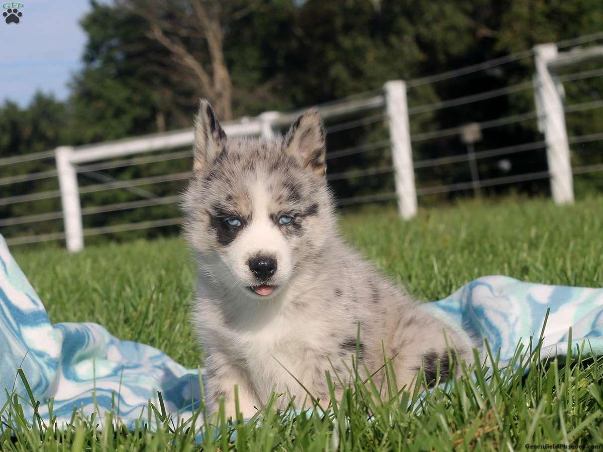 Wynonna Pomsky Puppy For Sale in Delaware Pomsky