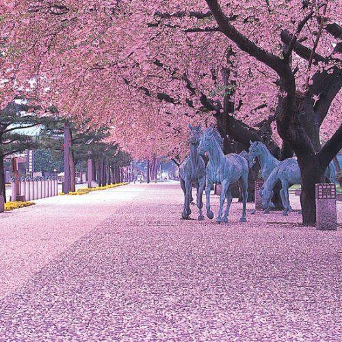 Japan S Cherry Blossom For Backapckers Cherry Blossom Japan Aomori Cherry Blossom Festival