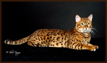 Bengal cats for sale in fort worth texas