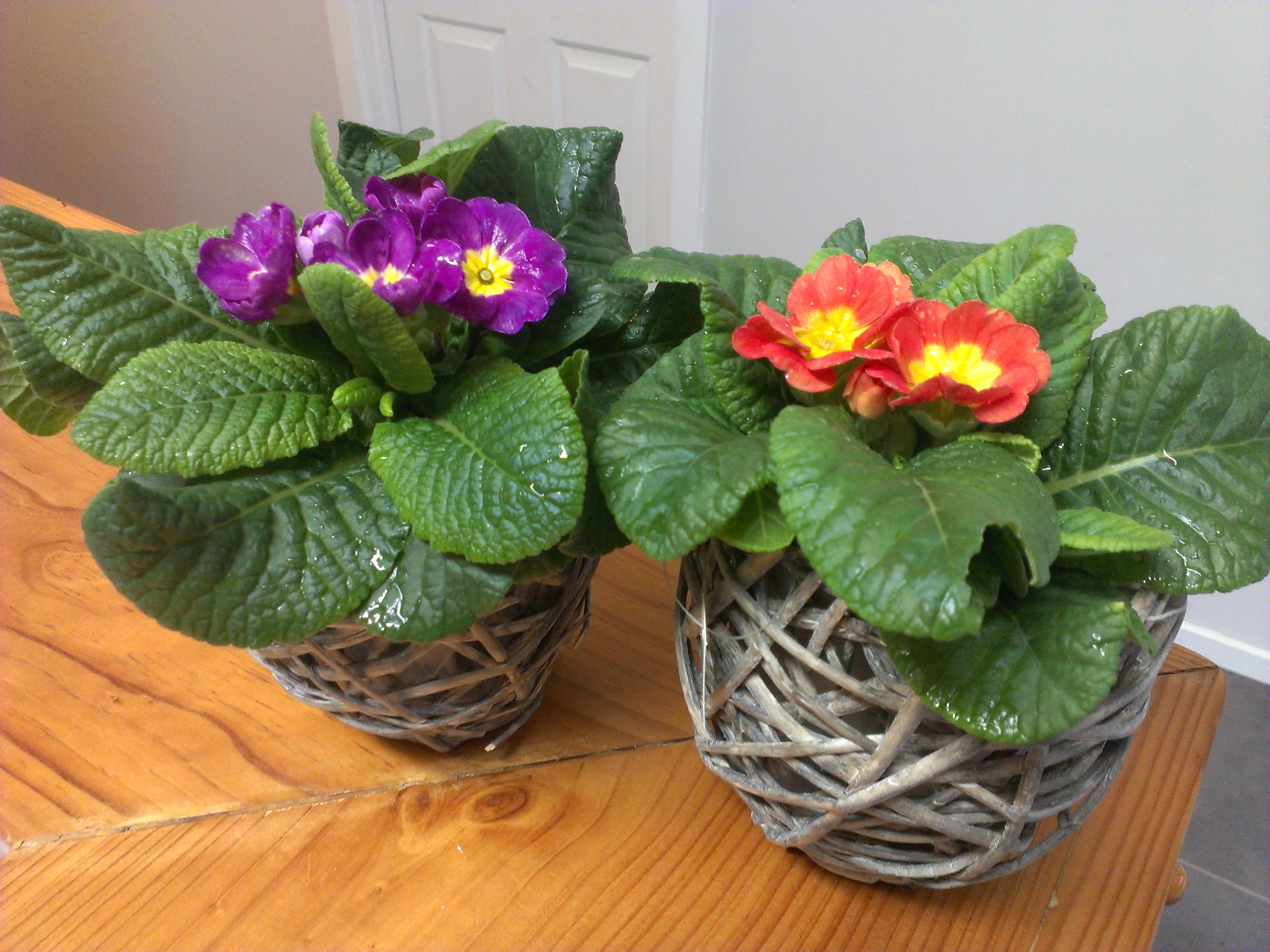 Esson woven cane baskets with flowering polyanthus Baskets