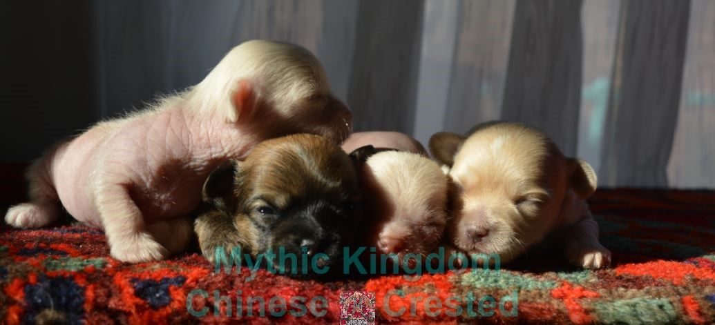 About Us Mythic Kingdom Puppies For Sale Chinese Crested Puppy Puppies For Sale Puppies