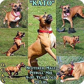 Adopted Kato 1 4 Urgent Ohio County Animal Shelter In Triadelphia Wv Adopt Or Foster Senior Alert 9 Year Old With Images Homeless Pets Pets Pitbull Terrier