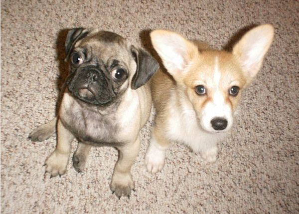 21 Pug And Corgi Best Friends Who Will Be The Very Thing That