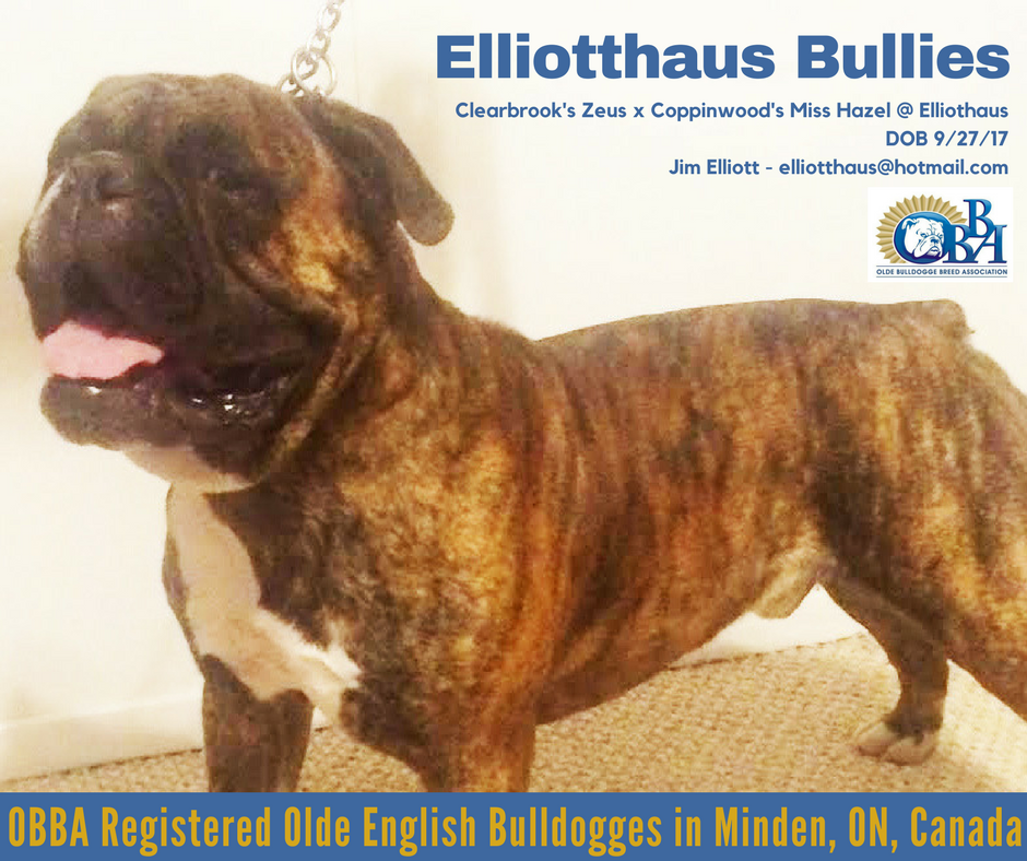 Congrats Jim And Thank You For Choosing The Obba Elliotthaus Bullies Http Www Elliotthausbullies Com Cle Puppies For Sale Olde English Bulldogge Puppies
