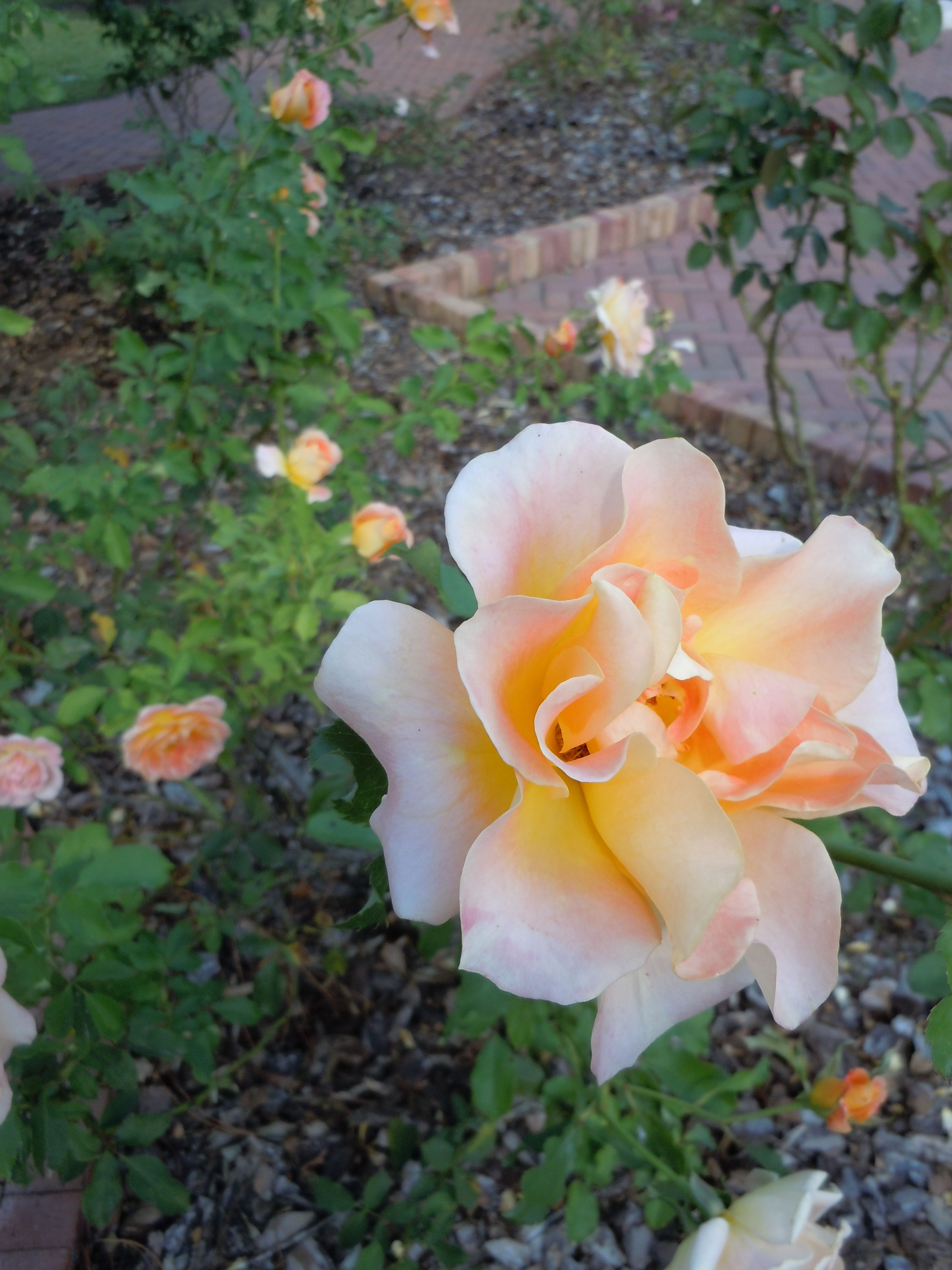 gorgeous large light yellow rose in the rose garden at the south