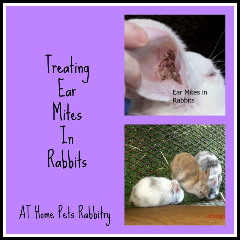 Treating Ear Mites in Rabbits  AT Home Pets Rabbitry