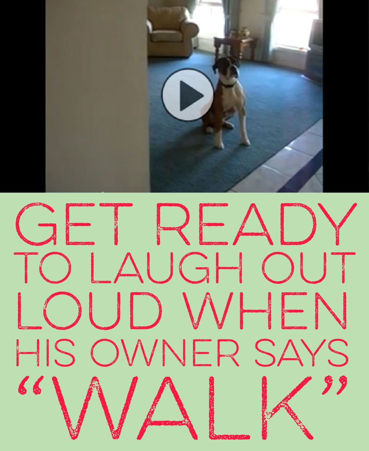 Get Ready To Laugh Out Loud When His Owner Says Walk Boxer