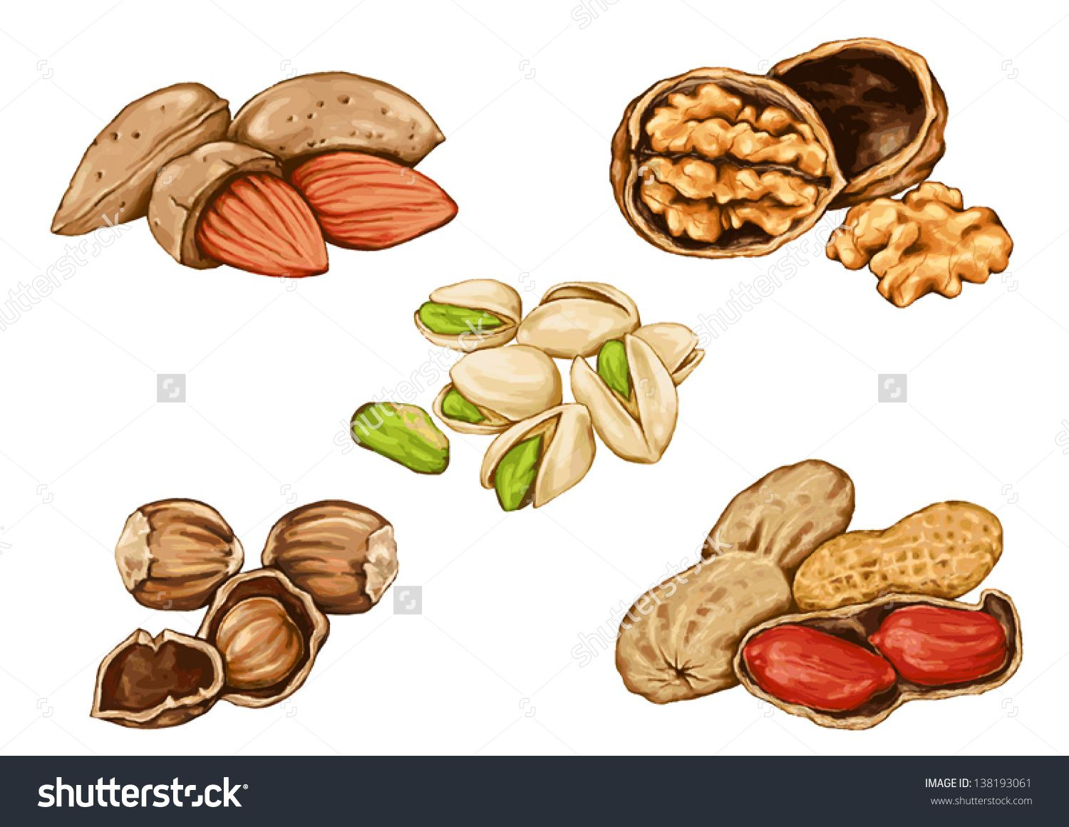 drawing of peanuts and nuts, edible seeds of the tree, used in ...