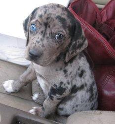 I Found Little Mutt Puppy Husky Heeler Mix 8 Weeks On Mutt