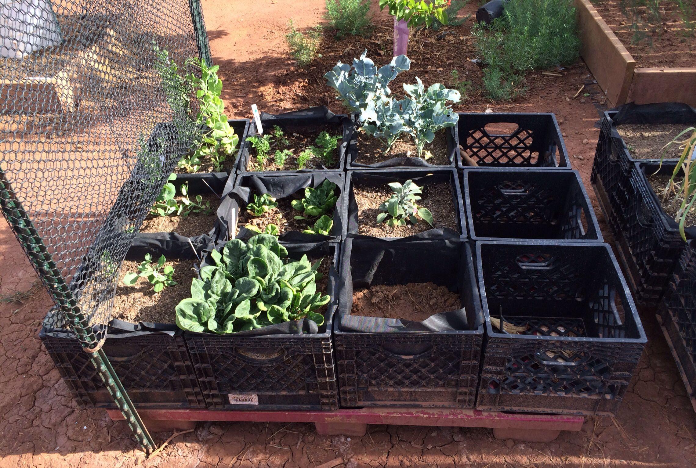 Garden Started In Milk Crate Planters Wooden Crates Garden Wooden Garden Wooden Garden Planters