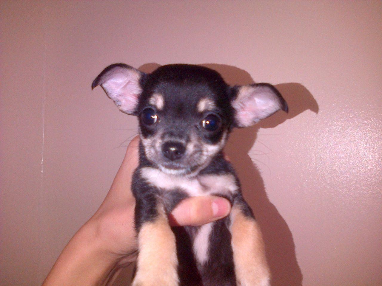 Small Teacup Chihuahua Girl Teacup Chihuahua Chihuahua Teacup