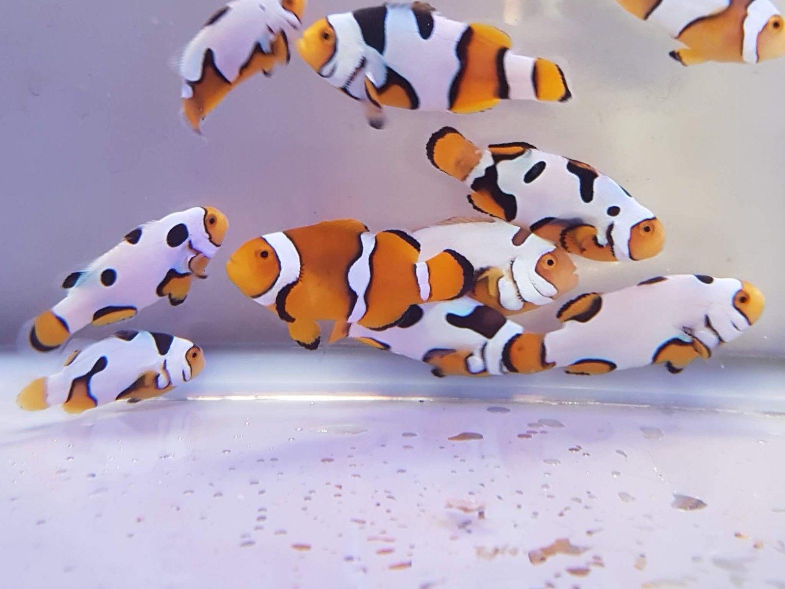 Buy Clownfish