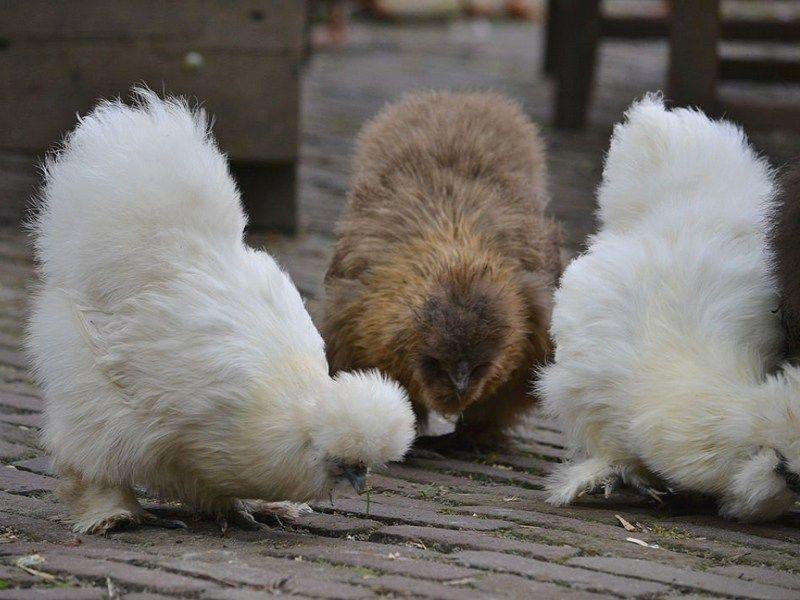 Adopter des poules dans son jardin, une bonne idée ? | Alsagarden - Le Blog des Jardiniers Curieux