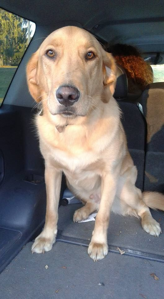Yellow Blonde Lab Mix Zaida Vasco Ct Lost Pets Https Www Facebook Com Ct Lost Pets Posts 791767557611788 Was Found In C With Images Losing A Pet Animal Control Pets